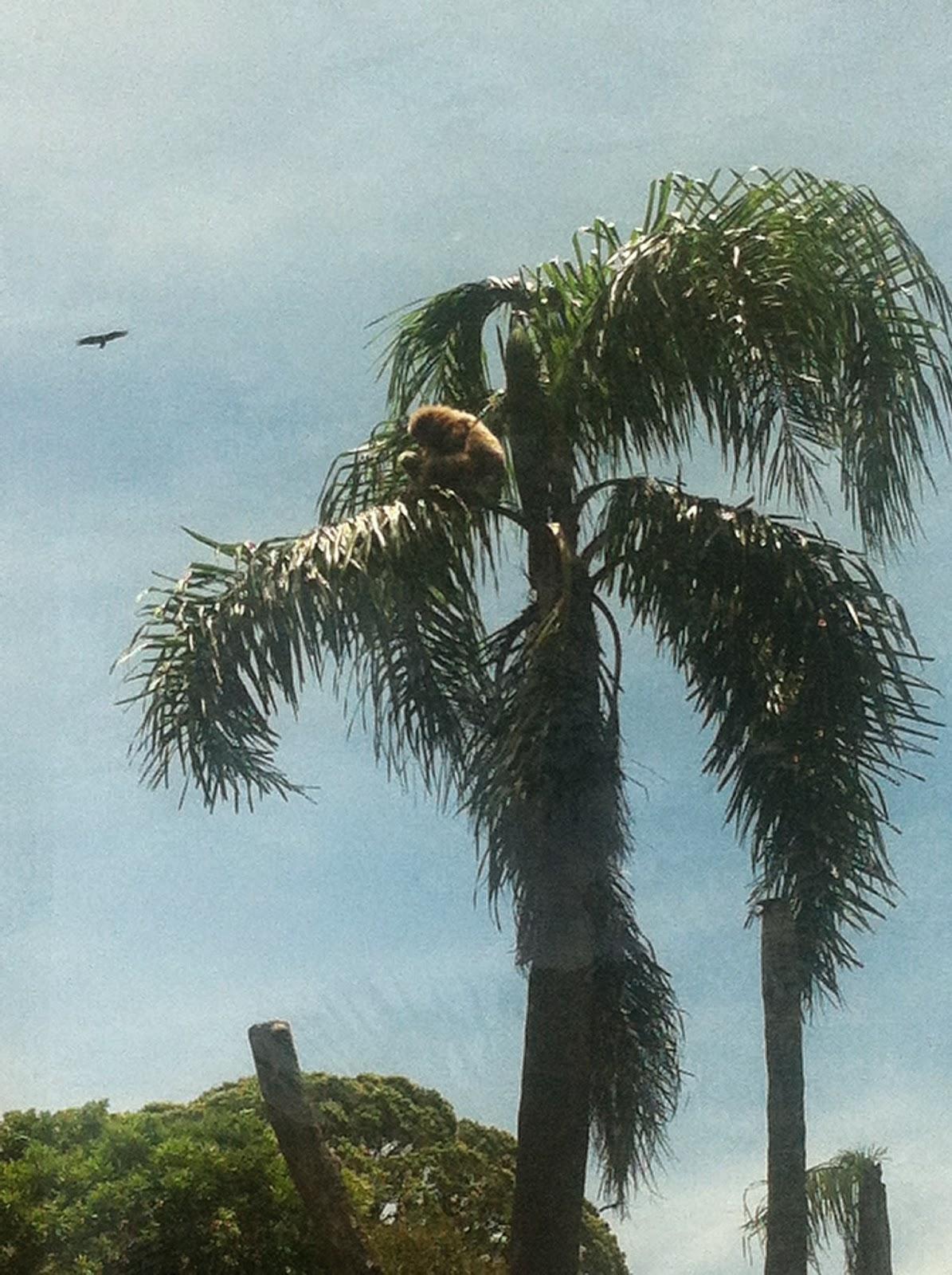 Descrição da Foto: Macaco babuíno na cor marrom claro está no topo de uma palmeira, com três estacas abaixo na vertical e uma de árvore. No fundo o céu azul e um pássaro voando.