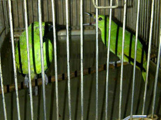 pasangan cucak hijau