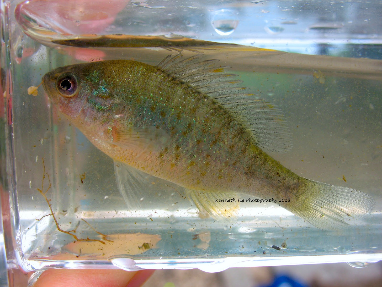Western Mosquitofish We fished a launch area and