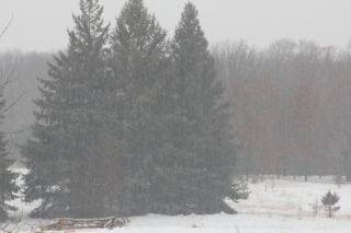 photo of pine trees in snow storm
