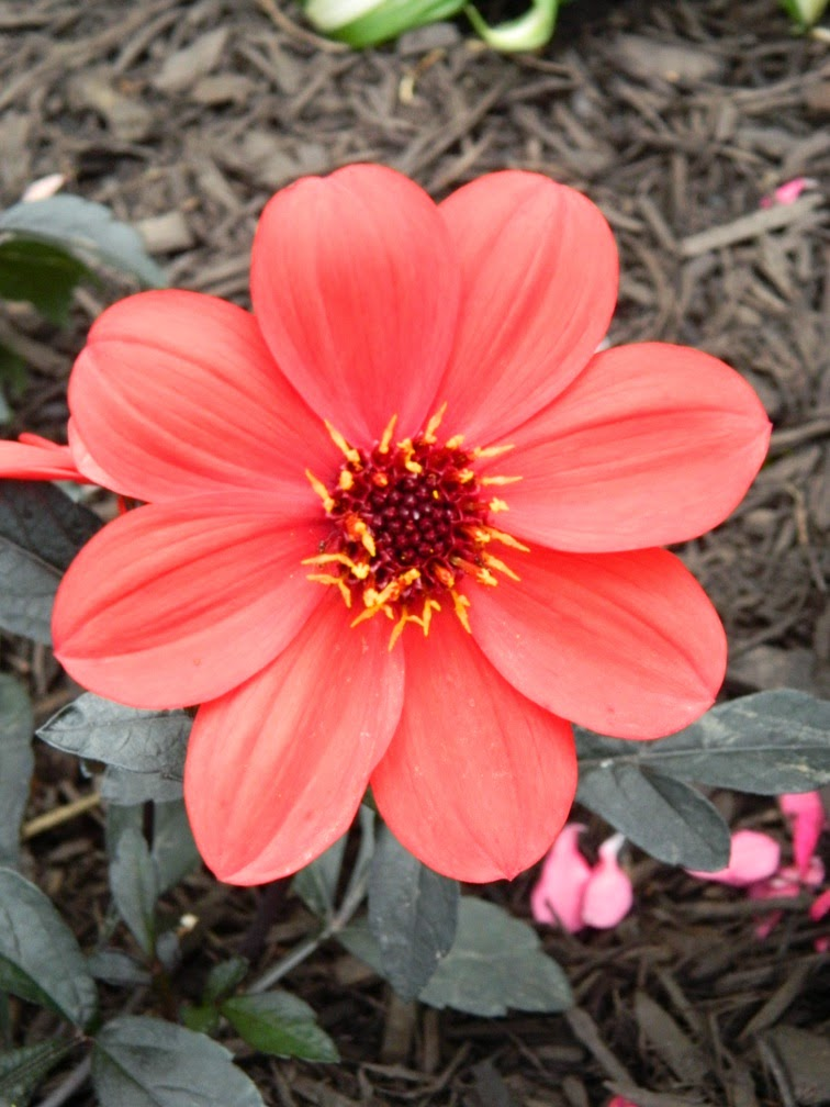 Dahlia Mystic Enchantment by garden muses-not another Toronto gardening blog