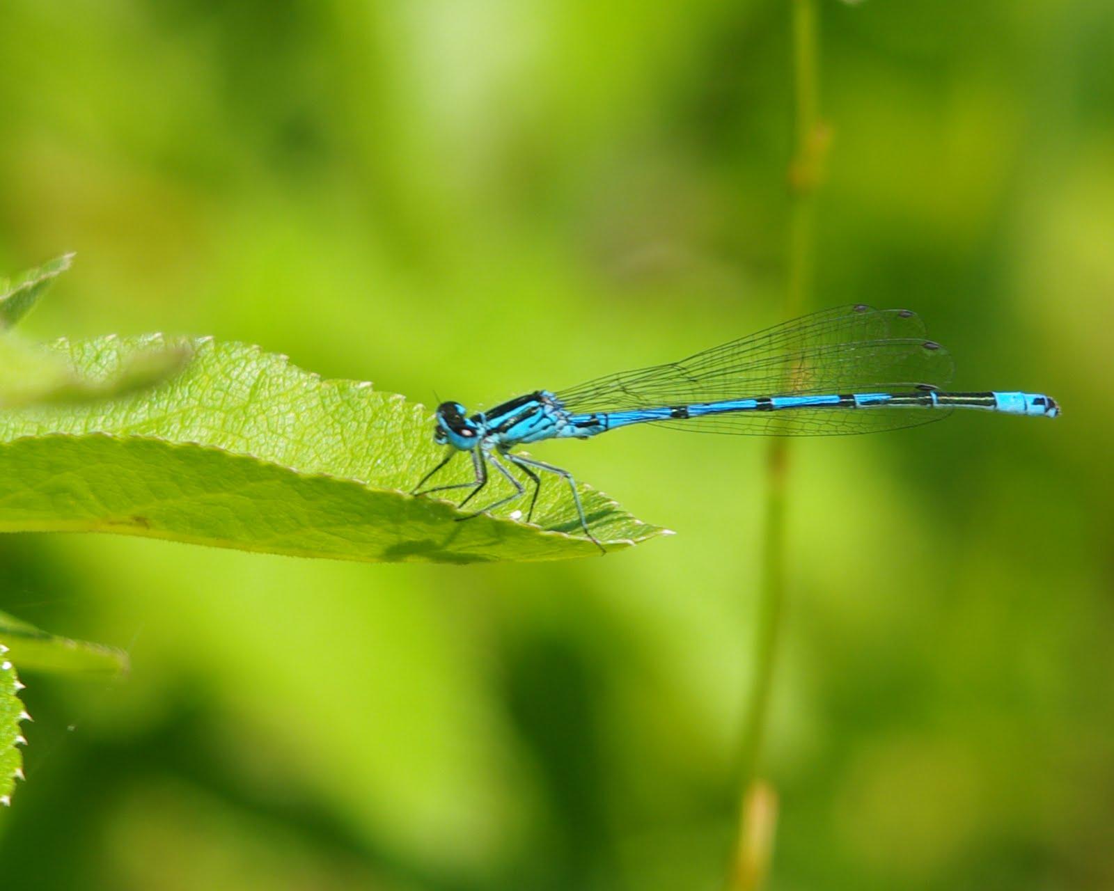 azure damsel flies fly - photo #48
