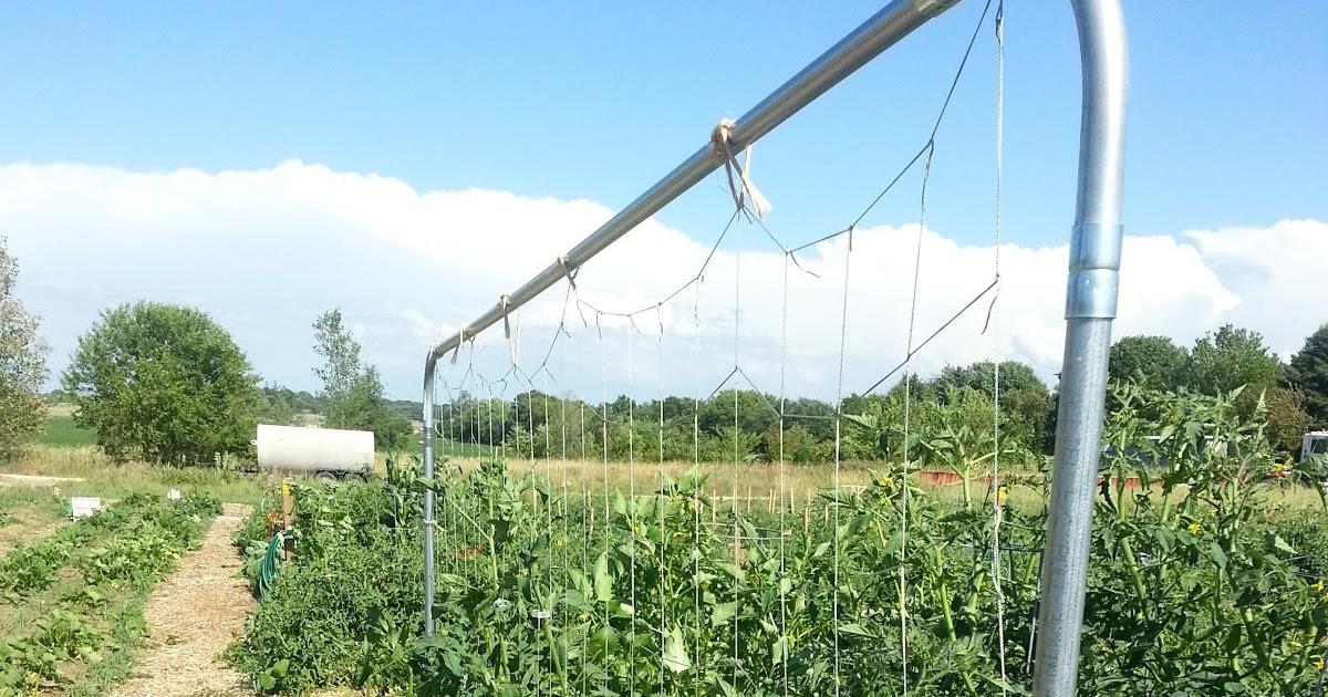 The Urbane Farmer Trellising Tomatoes String Trellis Part 4