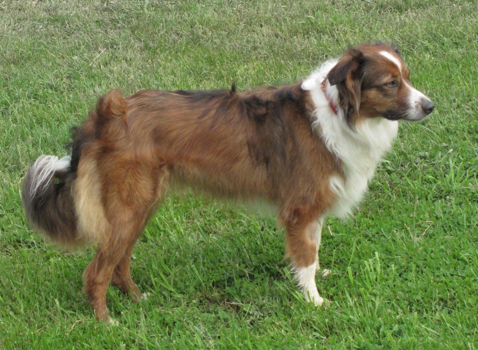 56 best Dogs ~ English Shepherd images on Pinterest ...