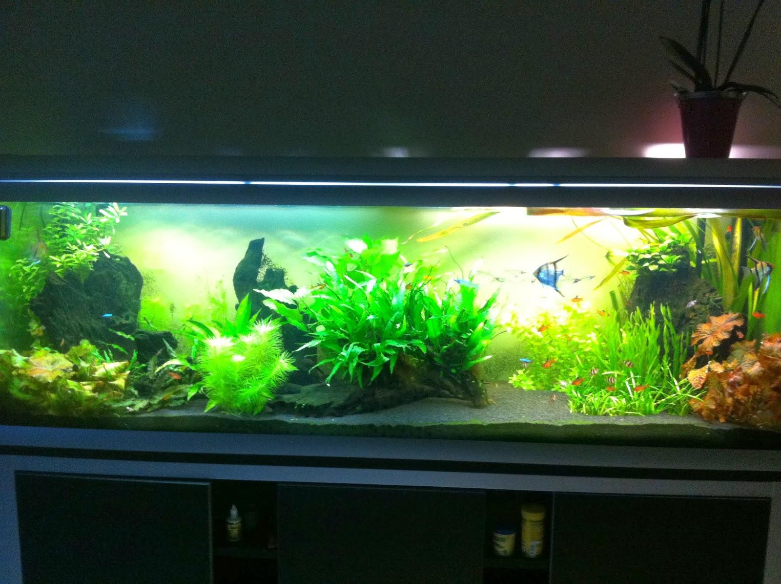 La vie de mon aquarium les ancistrus de mon aquarium for Aquarium bac