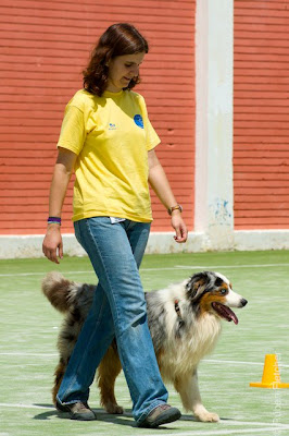 australian shepherd in obedience