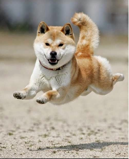 Shiba Inu Flying dogs puppy puppies cute doggy doggies adorable funny fun silly photography