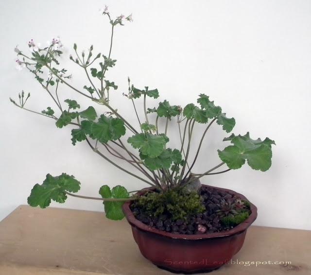 Fruit-scented miniature garden with Apple scented pelargonium / geranium