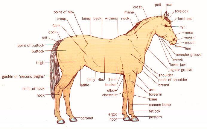 External anatomy of a horse