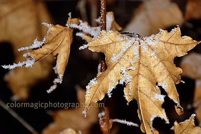 Frost-ice crystals on maple leaves