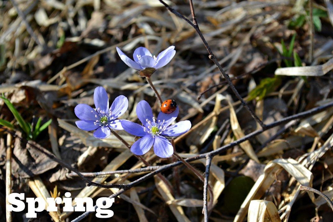 Hepatica wildflowers