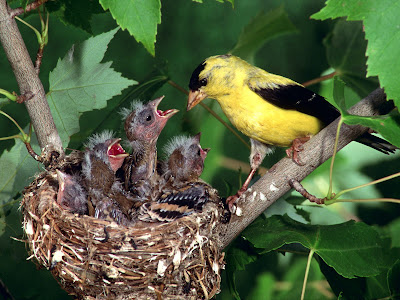 American Gold Finch Family Mind Refreshing Wallpapers