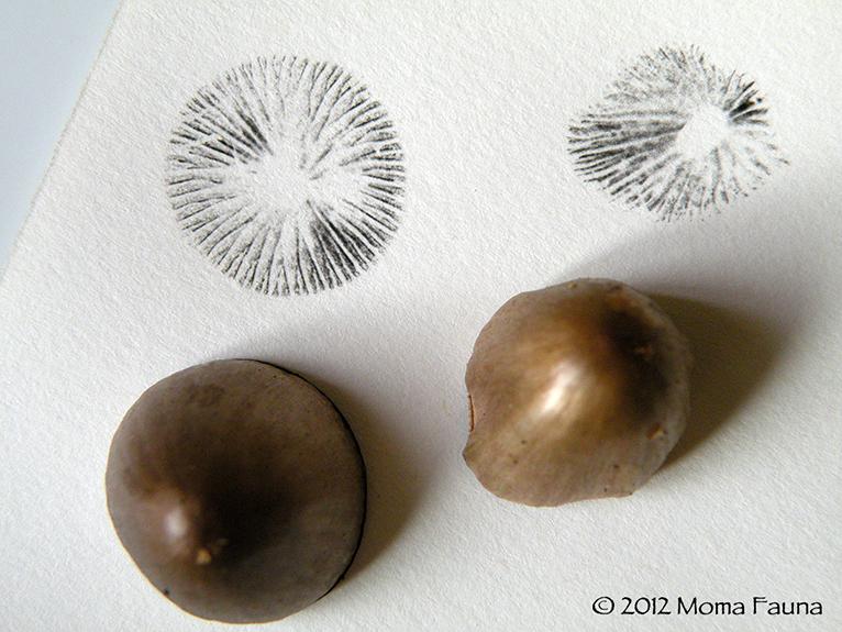 Fungal expressions. Panaeolus spore prints.
