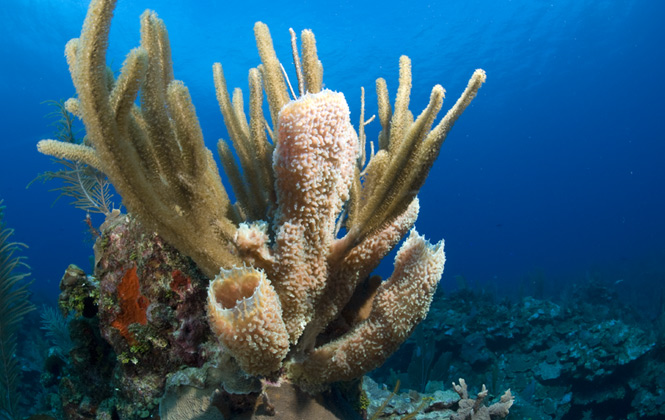 Diverse beautiful belize coral reefs placencia soft coral is sighted in belizes reef systems whether diving or snorkeling around the atolls or other islands the sheer numbers of and different types publicscrutiny Images