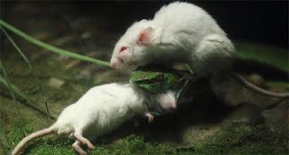 [FOTO] Tikus Putih Ini Berusaha Menolong Temannya Yang Dimakan Ular