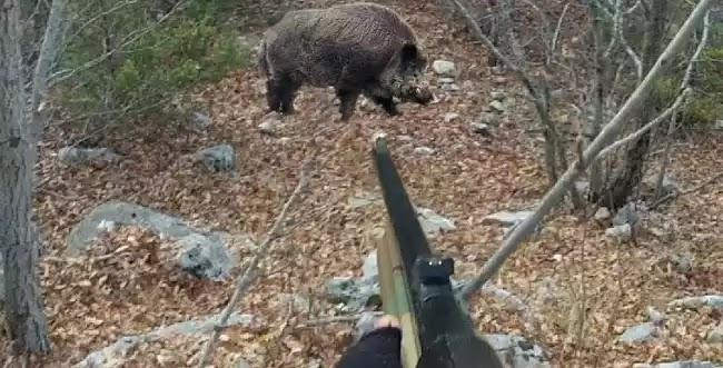 Αγριόχοιρος δέχεται 20 τουφεκιές, επιτίθεται σε κυνηγό και φεύγει αλώβητος! (βίντεο)