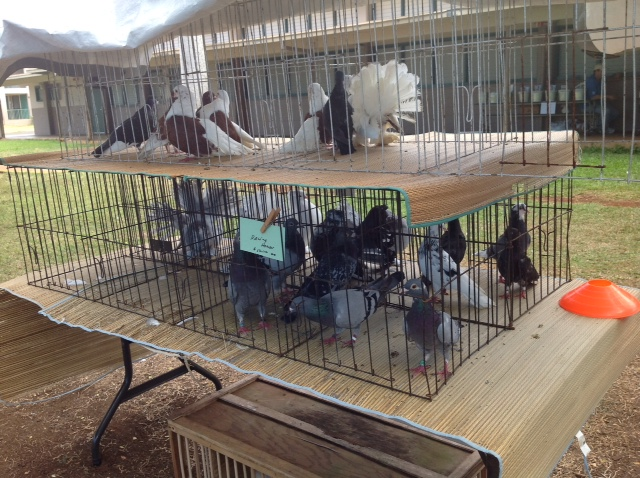 Pigeons for sale for Waimanalo feed supply