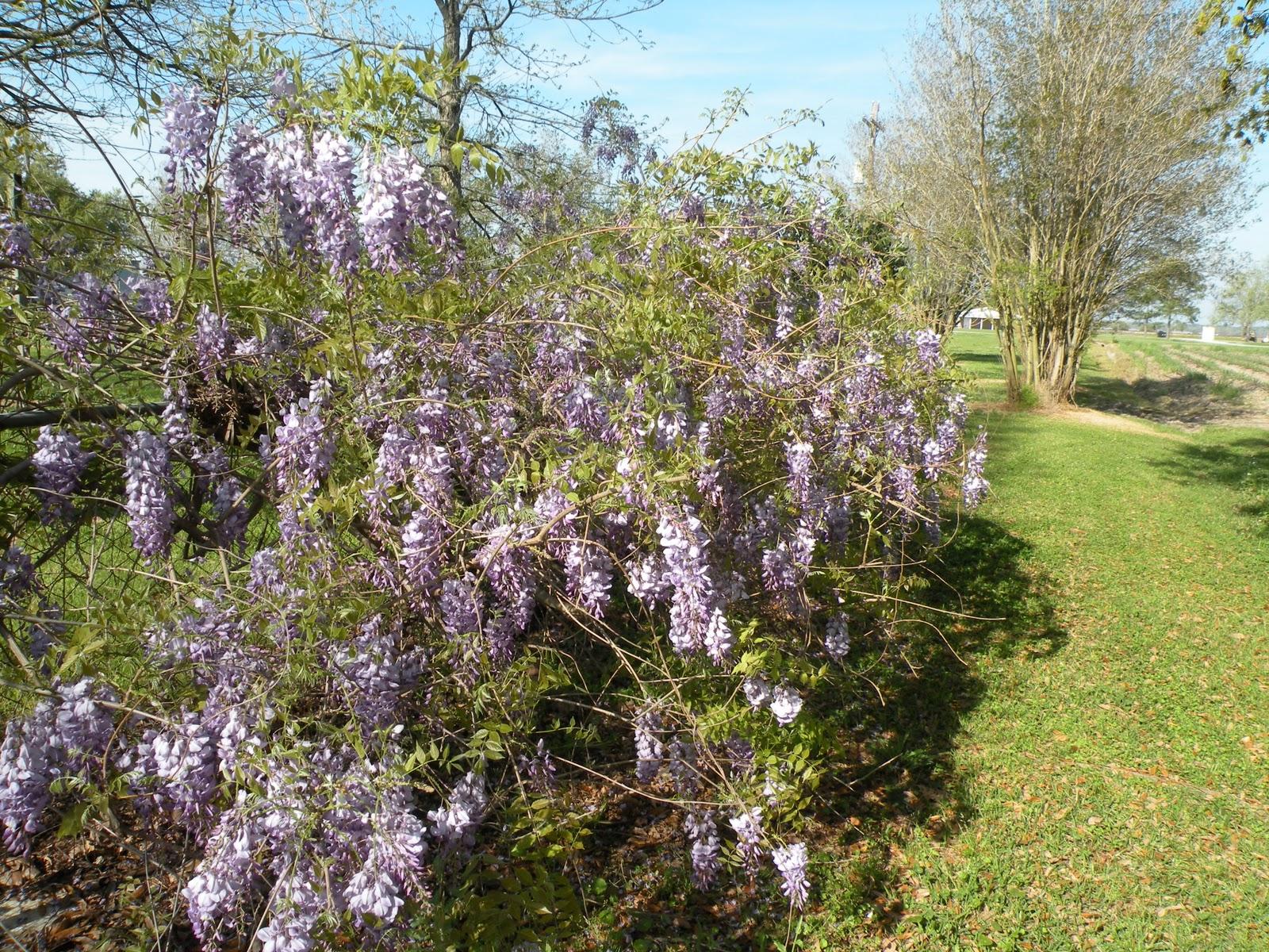 Mary 39 S Louisiana Garden Wisteria