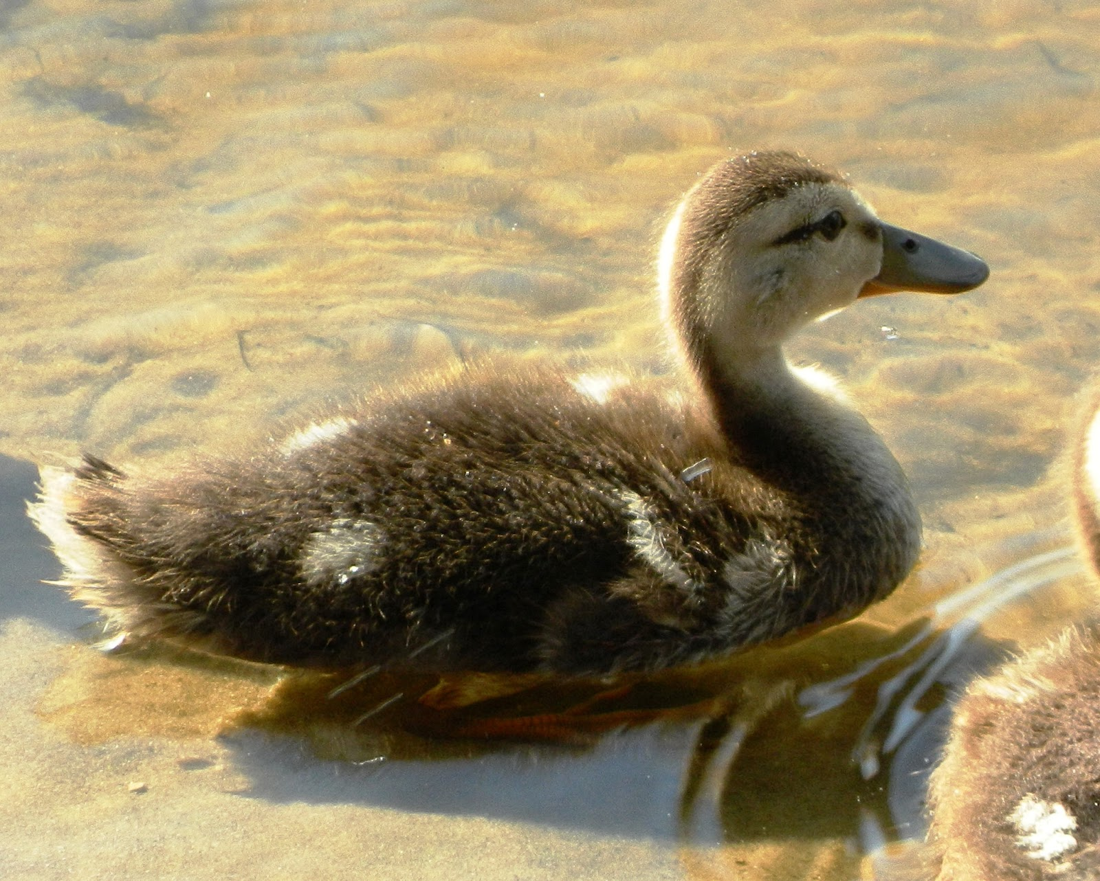 Mottled duck babies checking out a turtle   Backyard World