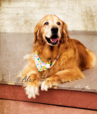 Alair Photography: Treasure Your Pets: Golden Retriever