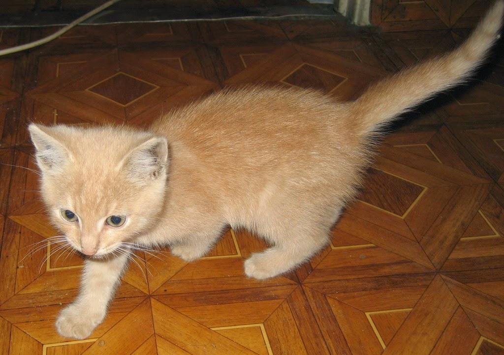 Персиковый котенок