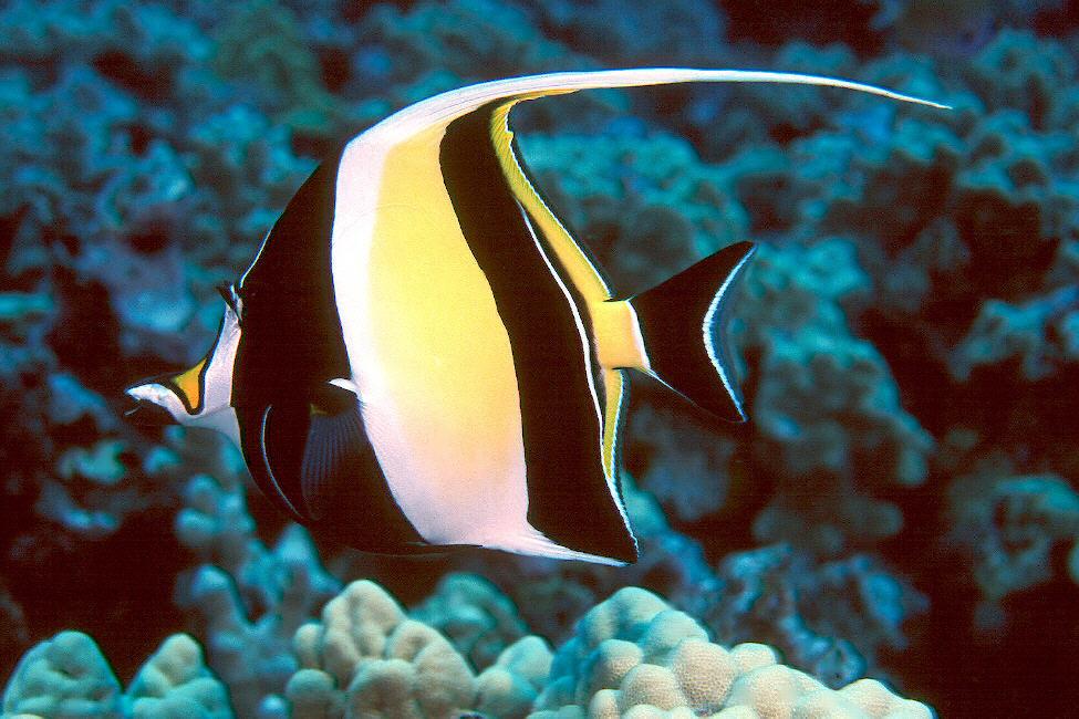 Moorish idol for Fish representative species
