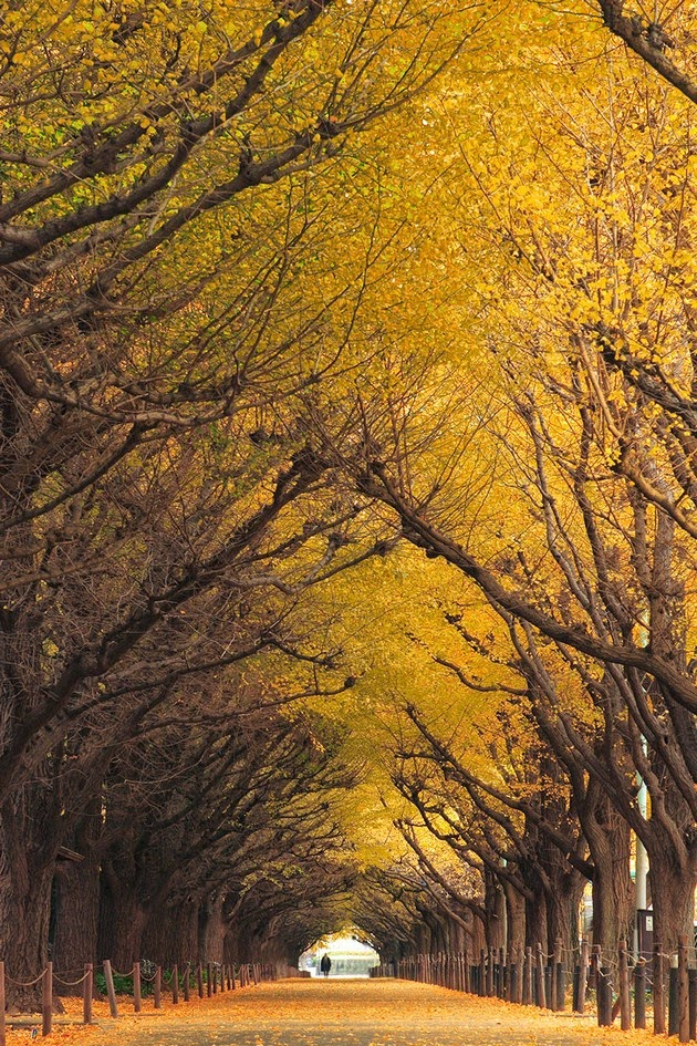 Ginkgo Tree Tunnel in Japan