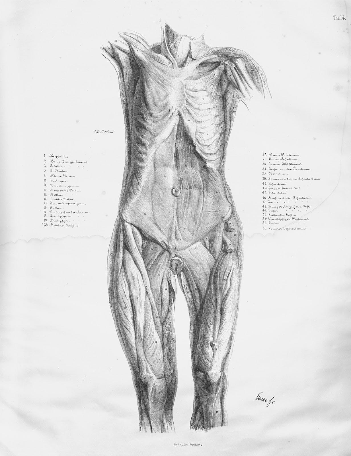 "Research of Artistic Anatomy: Johann Cristian Gustav Lucae ""ZUR ..."