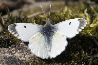 Para ampliar Anthocharis cardamines (Mariposa aurora, musgosa) hacer clic