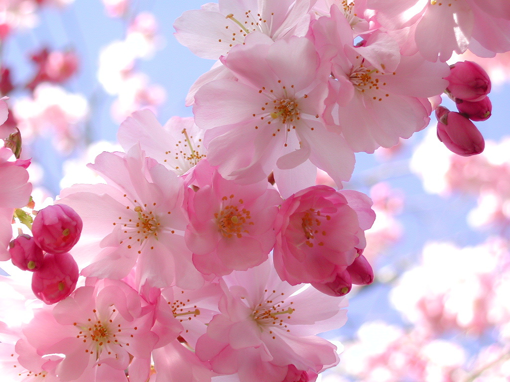 Cherry blossom pink flowers wallpaper | Flowers in NanoPics