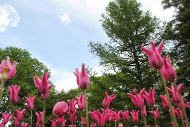 Tulipas no Jardim Botânico