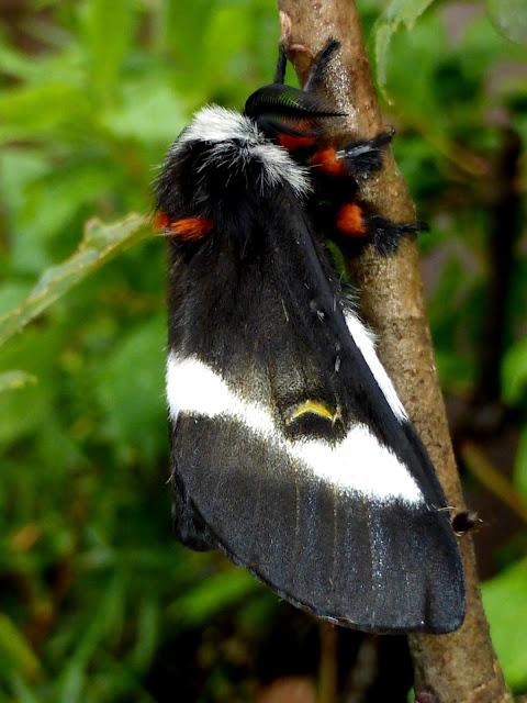 Hemileuca maia male