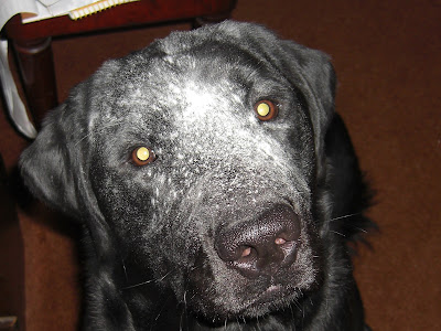 Up close picture of Al's face - with flour ALL over it! He looks like a older dog, with grey hair