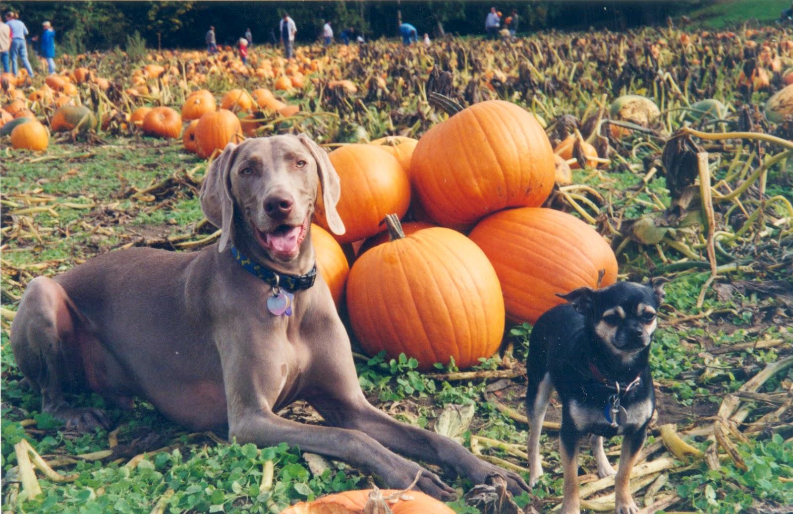 Feeding Dogs Canned Pumpkin