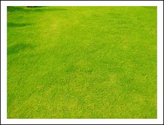 memilih jenis rumput taman