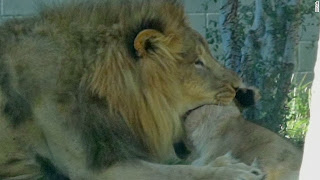 Dallas zoo lioness choked by lions