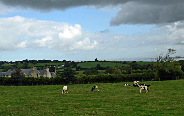 cattle grazing in the English countryside