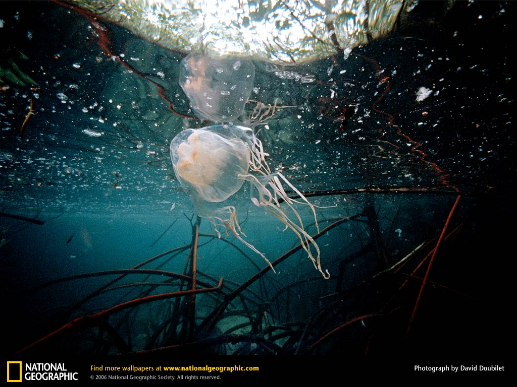 Box jellyfish venom mechanism - photo#11