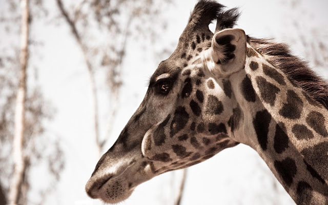 Photo with the side view of a giraffes head