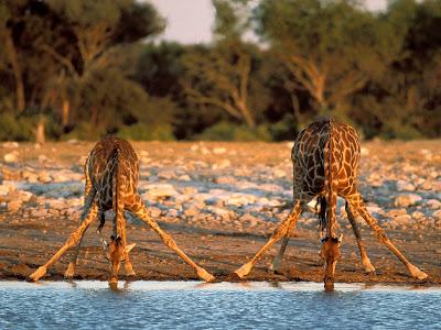kruger national park africa giraffes