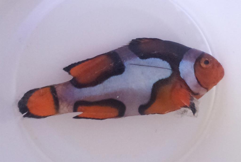 Picasso Clownfish Wallpaper Grade a Picasso Clownfish