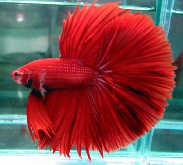 Ikan Cupang Terbaru