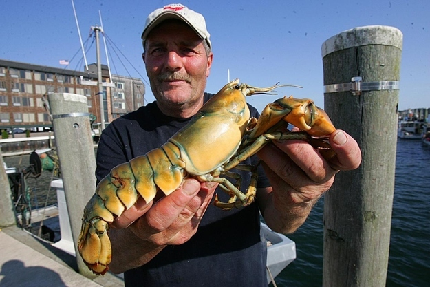 8 oddly colored creatures, amazing creatures, Yellow Lobsters