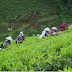 Wanted Tea Plantation