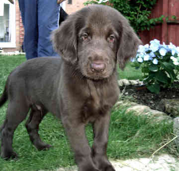 Flat Coated Retriever Puppies Pictures