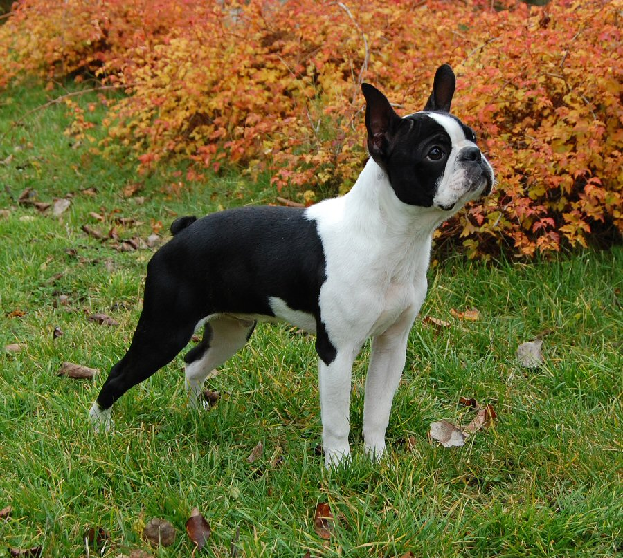 B Is For Boston Terrier Terrier Group - Terrie...