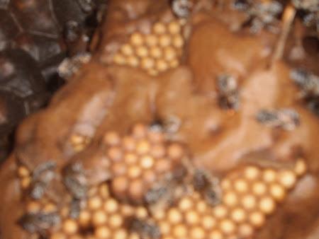 Abelha Tiúba do Maranhão