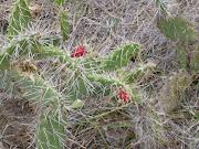 foto 20 bloeiende cactus