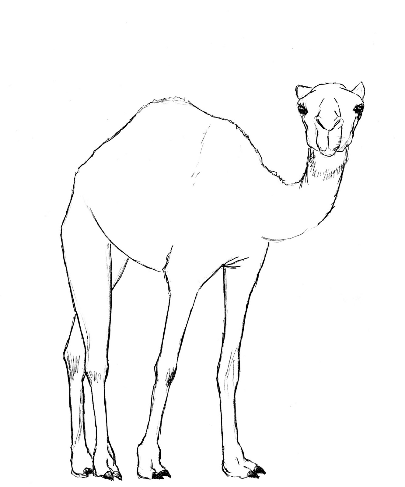Drawing Lines With Html : How to draw a camel drawing lessons