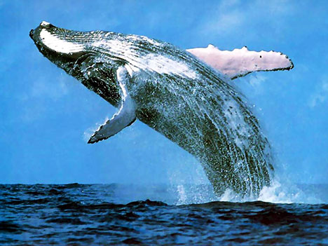 BLUE WHALE- THE GIFT OF NATURE - inature